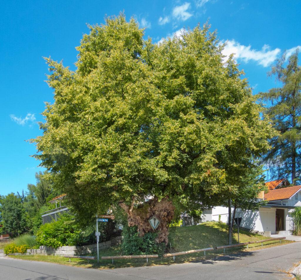 Baum in Aying mit Feldkreuz